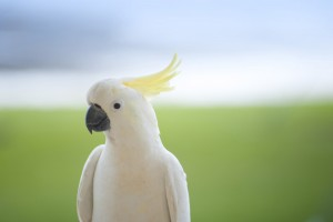 close up on a perched white cockatoo (sulphur crested cockatoo)
