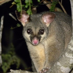 Wobbly Possum Alert