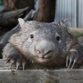 Attention wombat lovers