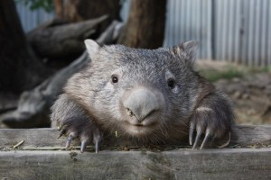 Wombat - Image by O Rodger