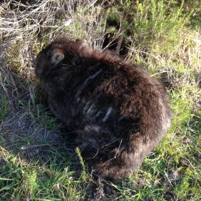 Wombat Mange Management