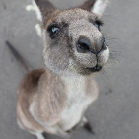 A powerful article about kangaroos and caring